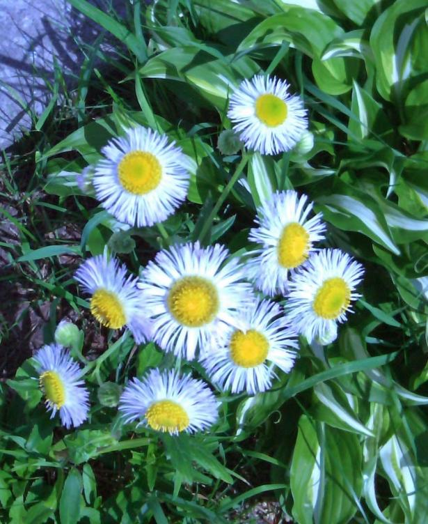 Daisy Variety
