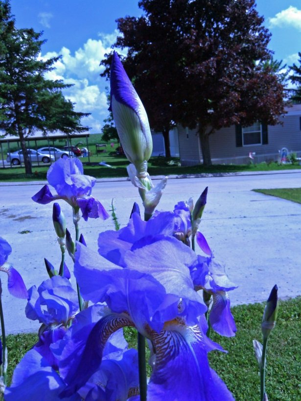 Iris Buds among Blooms