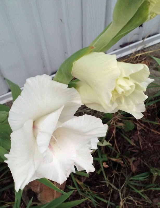 white glad