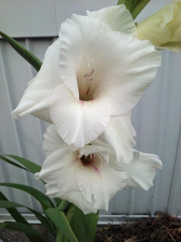 white glad5