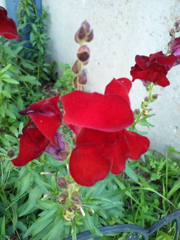 snap dragon red